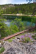 A fallen Ponderosa Pine (Pinus ponderosa) and Shrubby Pestemon flowers on the shore of Okanagan Lake at Otter Beach in Ellison Provincial Park