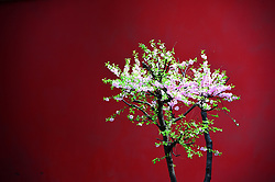 March 29, 2019 - Beijing, Beijing, China - Beijing,CHINA-Flowers blossom at the Forbidden City in spring in Beijing, China. (Credit Image: © SIPA Asia via ZUMA Wire)