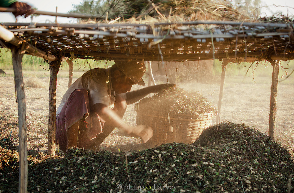 A farmer collects the mixture of earth and ground nuts that has been beaten and sieved from the bush it grows in. These two will then be separated by the wind. Seen here near the ancient city of Bagan, Myanmar