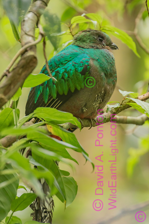 Quetzal adult female takes a break from working on a nest cavity in a dead tree, wood chips visible on her breast feathers, Monteverde Cloud Forest Reserve, Costa Rica, © David A. Ponton