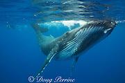 humpback whale, Megaptera novaeangliae, and snorkelers, Vava'u, Kingdom of Tonga, South Pacific, MR 497