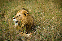 A lone male lion resting in the mid-day heat in the Masai Mara National Park, Kenya