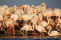 Greater Flamingos (Phoenicopterus roseus), at breeding colony, estimated 10.000 breeding pairs, Camargue, France