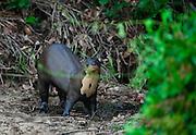 Pocone_MT, Brasil...Ariranha (Pteronura brasiliensis) no Patanal em Pocone no Mato Grosso...A giant otter (Pteronura brasiliensis) in Pantanal in Pocone, Mato Grosso...Foto: JOAO MARCOS ROSA / NITRO..