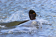 A ring-necked duck (Aythya collaris) creates waves as it lands at high speed on one of the Promontory Ponds in Magnuson Park, Seattle, Washington.