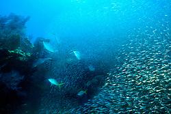bar jacks, Caranx ruber, feeding frenzy on bait ball, Banana Reef, Key Largo, Florida Keys National Marine Sanctuary, Atlantic Ocean