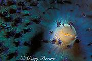 oral disc of warty corallimorph, Discosoma sanctithomae, Dominica ( Eastern Caribbean Sea )