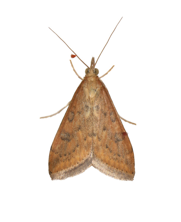 Rusty-dot Pearl - Udea ferrugalis