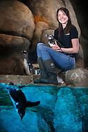 """Shannon Fletcher is the lead keeper of the African Penguins 17 bird colony at the Greensboro Science Center, Wednesday, April 13, 2014, in Greensboro, N.C.  Fletcher specializes in penguin husbandry and diet prep for the only permanent exhibit of African penguins in NC. The African penguin population has declined more than 60 percent over the past 30 years, and the species is now considered endangered. The Association of Zoos and Aquariums runs a """"species survival"""" program among the nearly 50 facilities with African penguin colonies, including the Greensboro Science Center."""