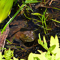 Bullfrog hanging out at Moraine State Park