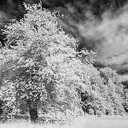 Oak Tree - Skokomish Valley - Infrared Black & White