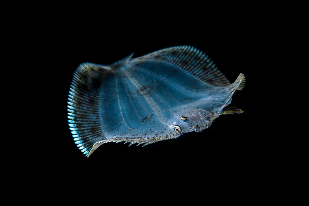 Larval three-spot flounder, or many-eyed flounder, Grammatobothus polyophthalmus, Balayan Bay, Luzon Island, Philippines