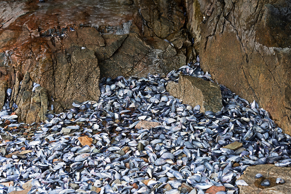 Shoreline at the foot of a cliff covered with masses of Blue Mussel shells (Mytilus edulis), Northeast Harbor, Maine