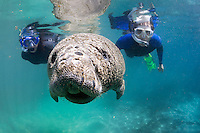 Florida manatee, Trichechus manatus latirostris, a subspecies of the West Indian manatee, endangered. Two snorkelers observe a manatees calf on a cool Florida day by the warm springs The snout, whiskers and bumpy skin of the calf are clearly visible in the sunlight. Horizontal orientation and polite, passive interaction. Three Sisters Springs, Crystal River National Wildlife Refuge, Kings Bay, Crystal River, Citrus County, Florida USA.