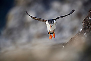 Atlantic Puffin (Fratercula arctica) about to land on nest, Utsikten, Svalbard