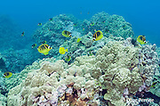 racoon or raccoon butterflyfish, Chaetodon lunula and yellow tangs, Zebrasoma flavescens, on shallow coral reef, Keauhou Bay, Kona, Hawaii ( Big Island ) Hawaiian Islands ( Central Pacific Ocean )
