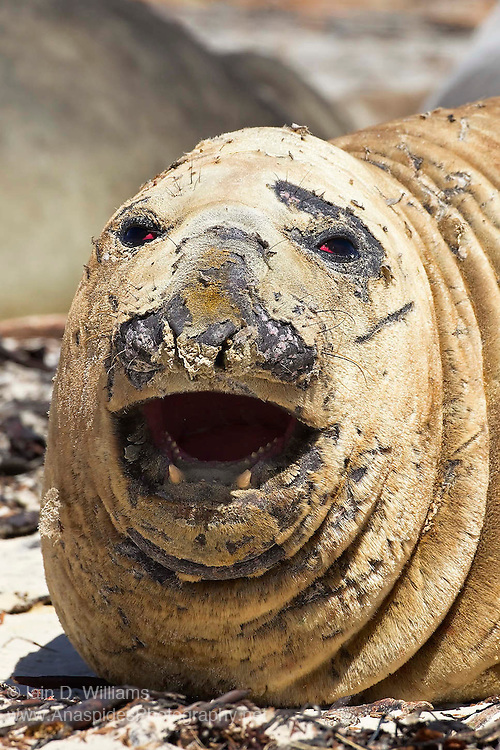 """Large male bull southern elephant seals are commonly called """"beach masters"""" or """"lead seals"""".  This male is in moulting phase and shedding its skin"""