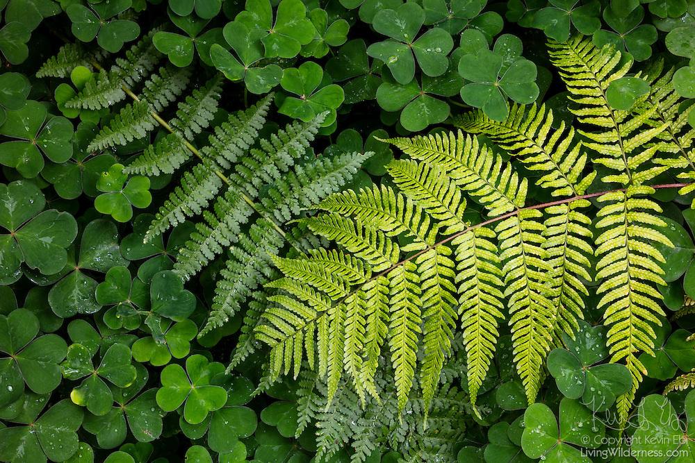 A pair of ferns grow over a carpet of clover on the forest floor in Bellevue, Washington. The darker fern is an American Alpine Lady fern (Athyrium alpestre); the brighter fern is a Western Sword fern (Polystichum munitum).
