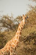 Giraffe, Skeleton Coast, Northern Namibia, Southern Africa