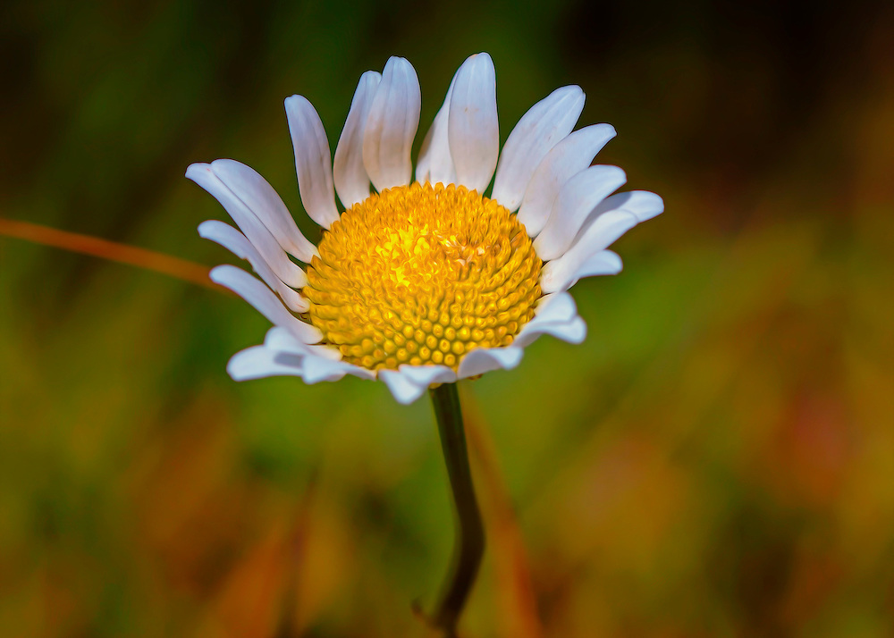 A wildflower with white petals that jumps off of the weeds and brush that surrounds it, with a bit of a fine art flare.