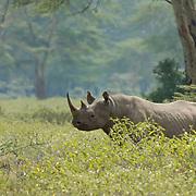 Black or Hooked Lipped Rhinoceros (Diceros bicornis) Lake Nakuru National Park. Kenya. Africa...Black or Hooked Lipped Rhinoceros (Diceros bicornis) Lake Nakuru National Park. Kenya. Africa.