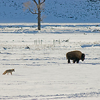 A Coyote approaches a Bison in the Lamar Valley in Yellowstone National Park, Wyoming.