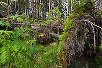 Dead Spruce (Picea abies) in windstorm-affected forest with Ash (Sorbus aucuparia) and Blueberry (Vaccinium myrtillus) growing on its exposed root plate. Western Tatras, Slovakia. June 2009. Mission: Ticha