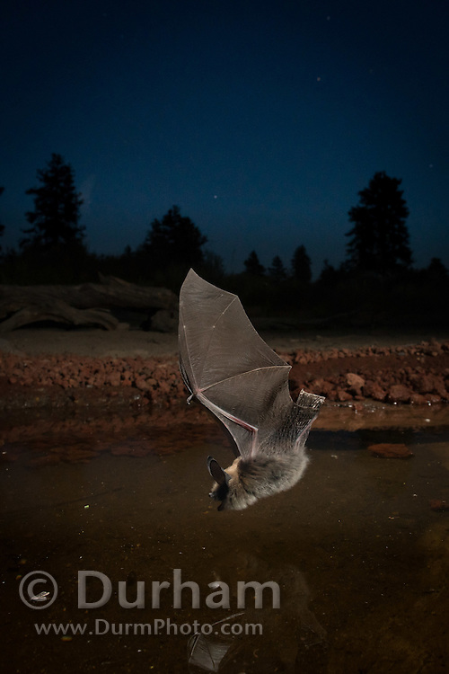 A western long-legged myotis (Myotis volans) at a watering hole in the high-desert of Oregon.