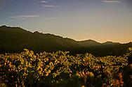 Saint Helena vineyard at sunset. Napa Valley.