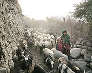 Return of the herds in the evening. Animal husbandry is a big part of life in the Wakhan – there are high pasture and the herds return in the evening. Sheep is for eating of course, but it's also used in barter, to acquire goods like extra flour etc.<br /> The traditional life of the Wakhi people, in the Wakhan corridor, amongst the Pamir mountains.