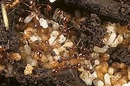 Red Ant - Myrmica rubra - larvae and pupae