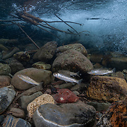 """West slope cutthroat trout (Oncorhynchus clarkii lewisi) swim effortlessly against a crystal clear current. The """"cutties"""" of the upper Flathead River and its tributaries are thought to comprise the last genetically pure populations of this species.  ILCP RAVE; Flathead River Valley, British Columbia, Canada.  ©Michael Ready"""