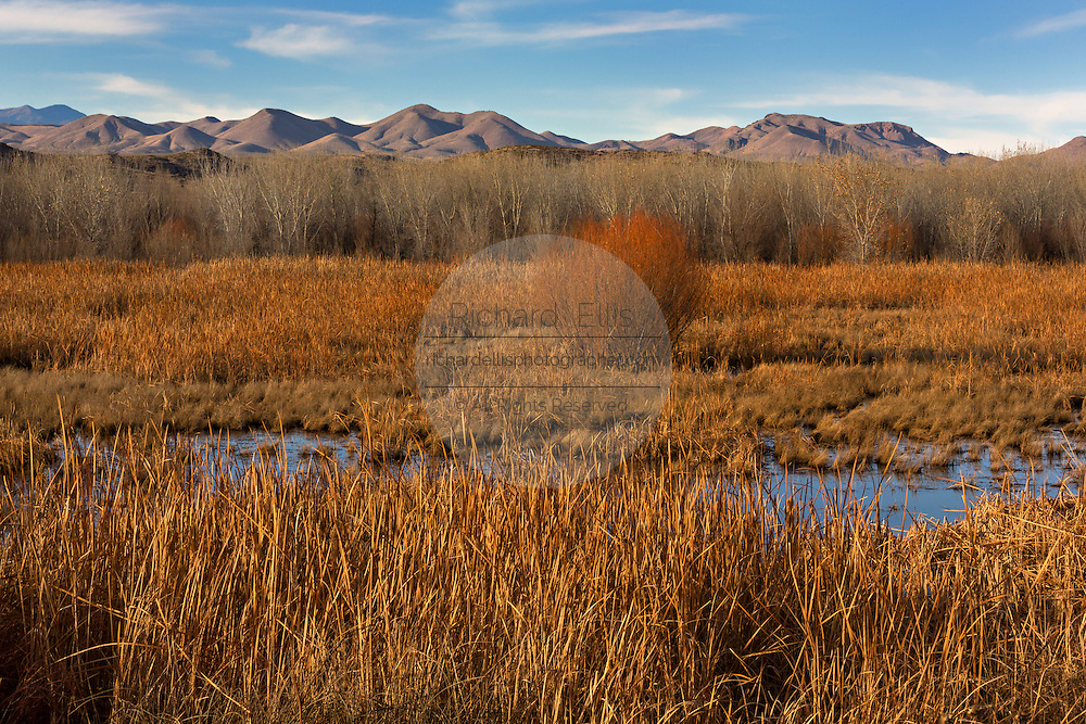 Muted colors of cottonwood and coyote willow thickets during winter at the Bosque del Apache National Wildlife Refuge in San Antonio, New Mexico. The refuge restored the original Rio Grande bottomlands habitat with native species.