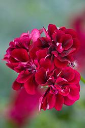 Pelargonium 'Barbe Blue' - ivy leaved pelargonium