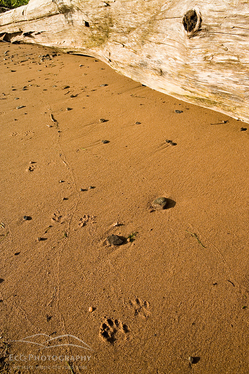 Animal tracks in the sand on the bank of the Connecticut River in Essex, Connecticut.  The Nature Conservancy's Turtle Creek Preserve.
