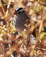 White-crowned Sparrow (Zonotrichia leucophrys). Bitter Lake National Wildlife Refuge. Roswell, New Mexico. Image taken with a Nikon D4 camera and 500 mm f/4 VR lens.