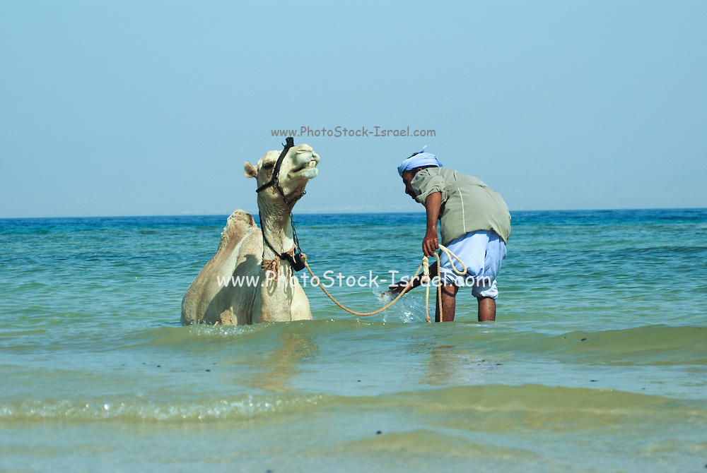 Egypt, Sinai, Bir Sweir Beduin washes his camel in the Red Sea