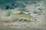Sonora Sucker, Underwater