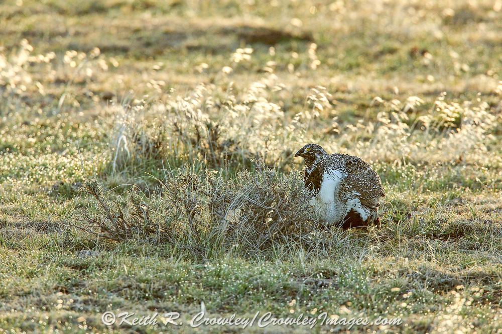 Sage Grouse in Sagebrush Habitat