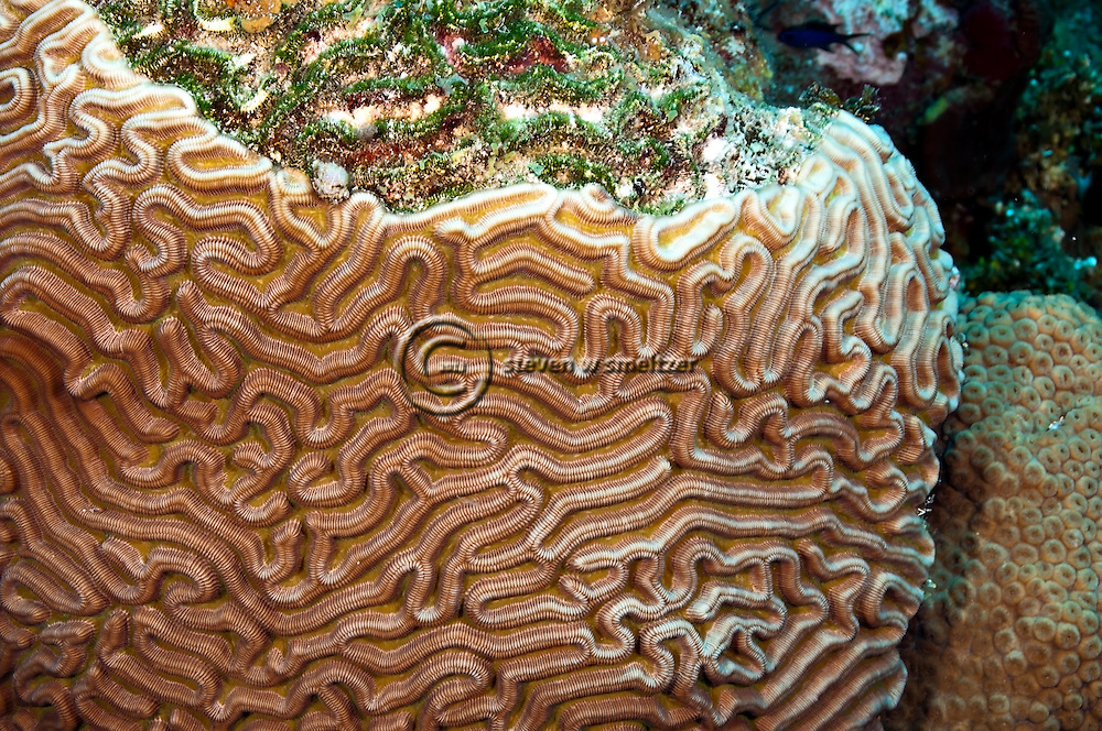 Symmetrical Brain Coral, Diploria strigosa, Grand Cayman