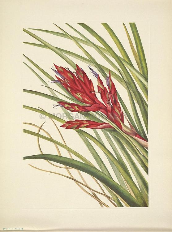 North American wild flowers<br /> Washington, D.C. :Smithsonian Institution,1925.<br /> https://biodiversitylibrary.org/page/42669603