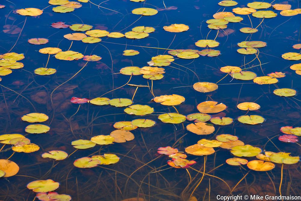 Water lilies, Port Carling, Ontario, Canada