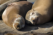 Sea Lions Close Up