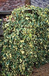 Hedera colchica 'Dentata Variegata' AGM syn. Hedera colchica 'Dentata Aurea' growing over a wall at Great Dixter