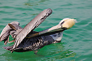Brown pelican, Pelecanus occidentalis, preening off Florida coast in the Gulf of Mexico by Anna Maria Island, USA