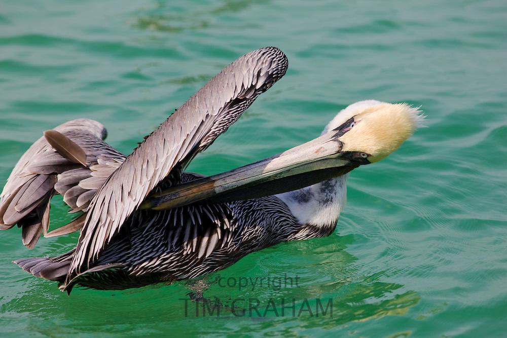 Brown pelican, Pelecanus occidentalis, preening off Florida coast in the Gulf of Mexico by Anna Maria Island, USA