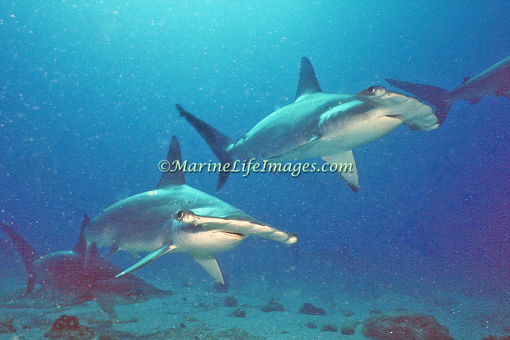 Scalloped Hammerhead Sharks inhabit open water circumtropically, occasionally crusing along steep dropoffs, walls and reefs of islands and continental coastlines; picture taken Galapagos.