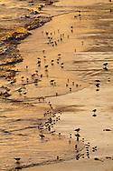 Mixed coastal waders at dawn