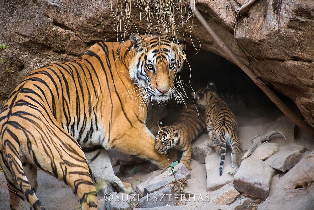 Bengal Tiger<br /> Panthera tigris <br /> Mother and four week old cubs at den <br /> Bandhavgarh National Park, India