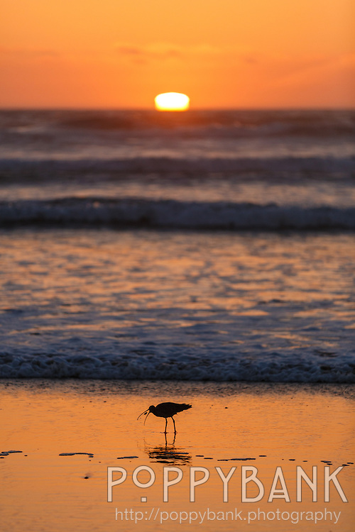 A sand piper grabs a snack at sunset on the beach at Morro Bay, California
